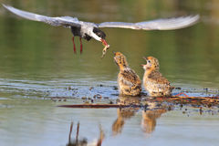 Common Tern Royalty Free Stock Image