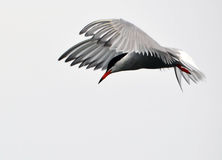 A Common Tern Stock Photography