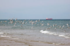 Common Tern. Flock of Common Tern flying at the beach and a ship on the horizon Royalty Free Stock Photo