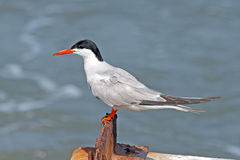 Common Tern. Sitting by the water's edge Stock Photo