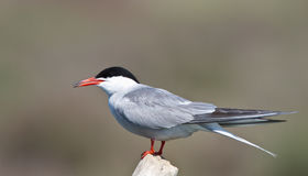 Common Tern. Perching on the rock piece royalty free stock image