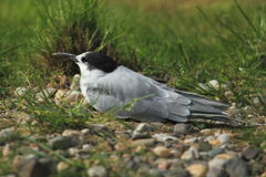 Common tern Stock Photos