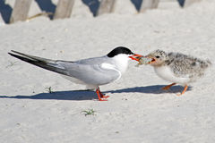 Common Tern Adult Feeding Chick. A Common Tern adult feeding a  chick Royalty Free Stock Image