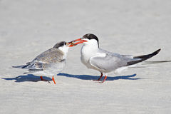 Common Tern Adult Feeding Chick Royalty Free Stock Images