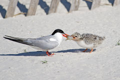 Common Tern Adult Feeding Chick Stock Photo