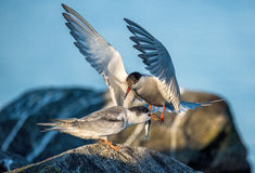 Common Tern Adult Feeding Chick. Royalty Free Stock Image