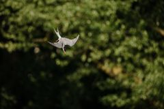 Common tern flying and diving towards water to catch a fish stock photo