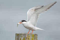 Common Tern, artic tern. With a fish royalty free stock photos