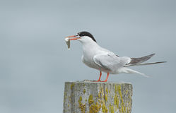 Common Tern, artic tern Royalty Free Stock Photos