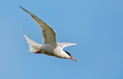 Common Tern or artic tern. In flight royalty free stock photos