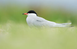 Common Tern or artic tern Stock Photos
