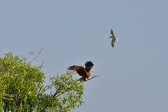 Common Tern attacking a black kite Royalty Free Stock Photo