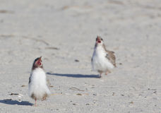 Common tern babies Royalty Free Stock Photo