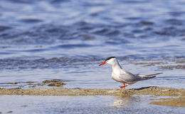 Common Tern on the Beach Royalty Free Stock Image