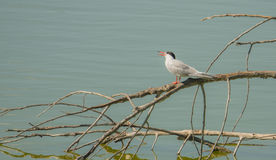 Common tern on branches over water Stock Images