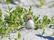 Common Tern Chick on beach Stock Images