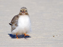 Common Tern Chick on beach Stock Photos