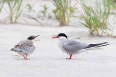 Common tern and chick. Common tern and hungry chick on beach Royalty Free Stock Image