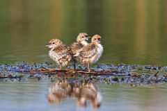 Common tern chick on lake Royalty Free Stock Image