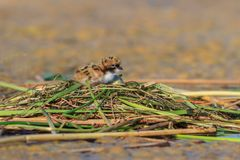 Common tern chick on lake Royalty Free Stock Photo