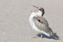 Common Tern Chick Royalty Free Stock Photos