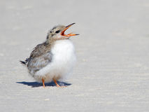 Common Tern Chick Royalty Free Stock Photo