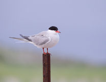 Common tern close up on post Stock Image
