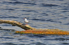 Common tern - natural reserve of the Danube Delta, landmark attraction in Romania. Summer seascape Stock Image