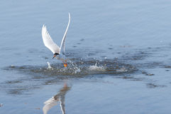 Common Tern, diving Stock Image