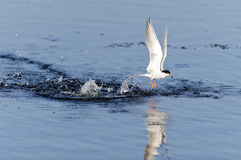 Common Tern, diving Stock Images