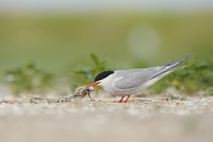 Common tern feeding chick Stock Image