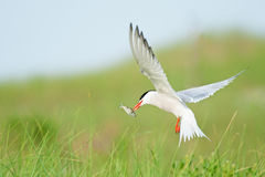 Common Tern with fish Royalty Free Stock Images