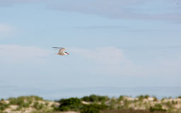 Common tern with fish flying over Nickerson Beach. Royalty Free Stock Image