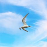 Common tern with fish in its beak Stock Images
