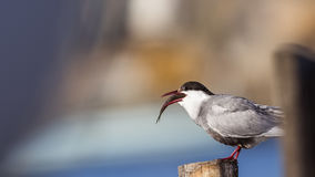 Common Tern and Fish. Common tern Sterna hirundo with fish in the bill is standing on log trying to swallow her prey Royalty Free Stock Image