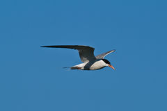 Common Tern in flight. Common Tern (Sterna hirundo) in flight, isolated on blue sky background Stock Images