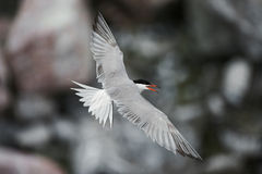 Common tern in flight. Common tern in flight, against gray stones, the top view Stock Images