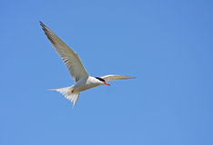 Common tern in flight. Common tern (sterna hirundo) flying on blue sky Royalty Free Stock Photography
