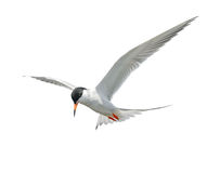 Common Tern in Flight Stock Photography