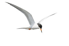 Common Tern in Flight Royalty Free Stock Images