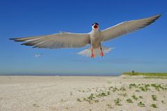 Common tern in flight. Face to face with a playful common tern in flight, on the beach Stock Images