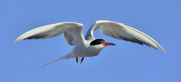 Common tern in flight Stock Photo