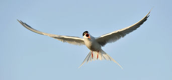 Common tern in flight Stock Photos