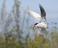 Common tern in flight with fish. Stock Photos