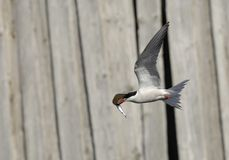Common tern in flight with fish. Royalty Free Stock Photo