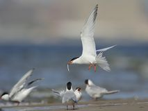 Common tern in flight with fish. A Common tern in flight carrying a fish is looking for bride during the breeding season Royalty Free Stock Photos