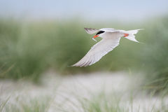Common tern in flight with fish Stock Photo