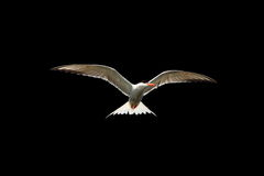 Common tern in flight isolated on black Royalty Free Stock Photography