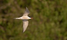 Common tern in flight over a riverbank in warm colors stock image