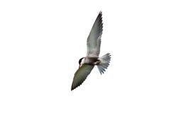 Common tern in flight over white Stock Photos